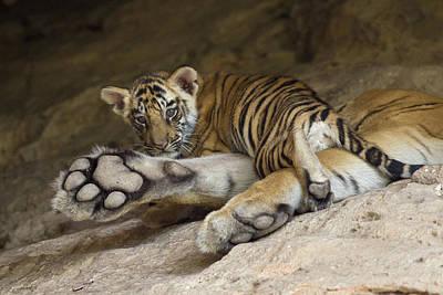 Bengal Tiger Cub On Paw Bandhavgarh Np Poster by Suzi Eszterhas