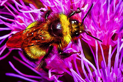 Big Busy Bumble Poster by Bill Caldwell -        ABeautifulSky Photography