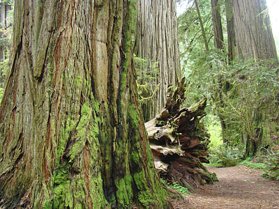 Big California Redwood Tree Forest Art Prints Poster by Baslee Troutman