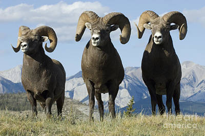 Big Horn Sheep Poster by Bob Christopher
