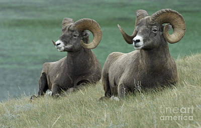 Big Horn Sheep 3 Poster by Bob Christopher