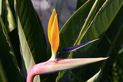 Bird Of Paradise (strelitzia Reginae) Poster by Adrian Thomas