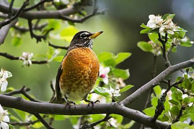 Birds - American Robin - Nature's Alarm Clock Poster by Christina Rollo