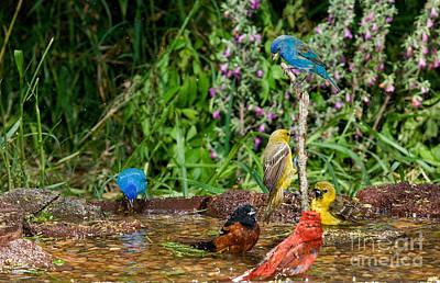 Birds Bathing Poster by Anthony Mercieca
