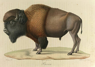 Bison Poster by British Library