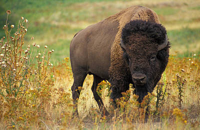 Bison Buffalo Poster by National Parks Service
