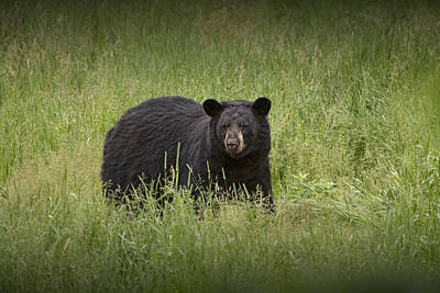 Black Adult Bear Outside Of Orr Minnesota Poster by Randall Nyhof