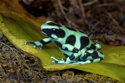Black And Green Poison-dart Frog Poster by Thomas Wiewandt