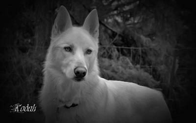 Black And White Dog Portrait Poster by Tyra  OBryant
