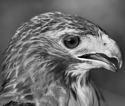 Black And White Hawk Portrait Poster by Dan Sproul