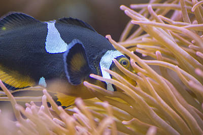 Black And White Ocellaris Clownfish Poster by Becca Buecher