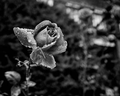 Black And White Rose In Roncesvalles Poster by Tanya Harrison