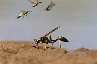 Black-and-yellow Mud Dauber (sceliphron Poster by Larry Ditto
