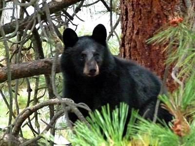 Black Bear 1 Poster by Will Borden