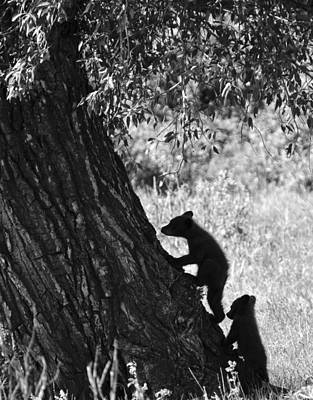 Black Bear Cubs Climbing A Tree Poster by Crystal Wightman