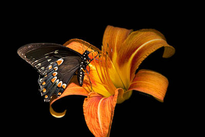 Black Beauty Butterfly Poster by Christina Rollo