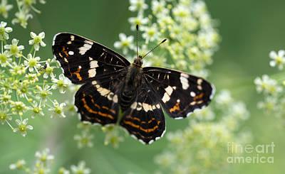 Black Butterfly On White Flowers Poster by Jaroslaw Blaminsky
