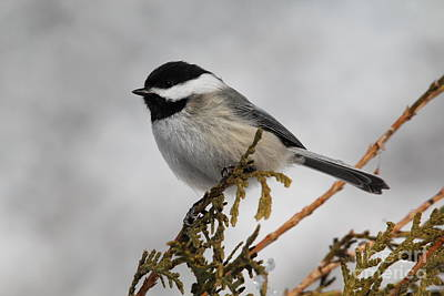 Black-capped Chickadee 9515 Poster by Joseph Marquis
