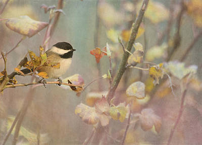 Black-capped Chickadee Poster by Angie Vogel