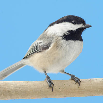 Birdwatching Poster featuring the photograph Black-capped Chickadee by Jim Hughes