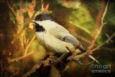 Black Capped Chickadee Poster by Lianne Schneider