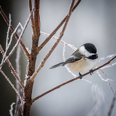 Black Capped Chickadee Poster by Paul Freidlund