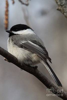 Black Capped Chickadee_1442 Poster by Joseph Marquis