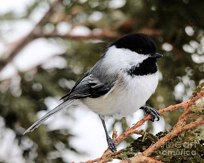 Black Capped Chickadee_9643 Poster by Joseph Marquis
