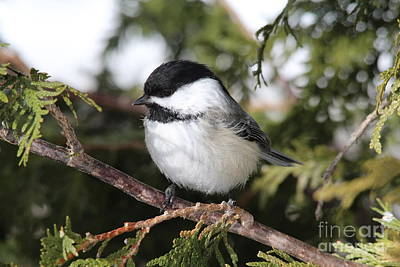 Black-capped Chickadee_9674 Poster by Joseph Marquis