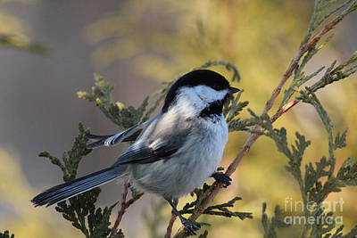 Black Capped Chickadee_9698 Poster by Joseph Marquis