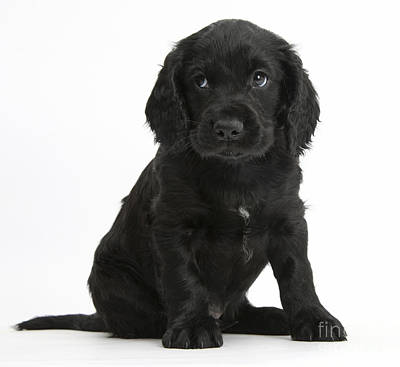 Black Cocker Spaniel Puppy Poster by Mark Taylor