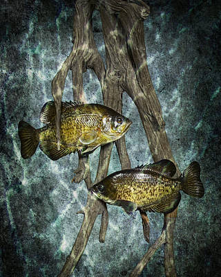 Black Crappies A Fish Image No 0143 Blue Version Poster by Randall Nyhof