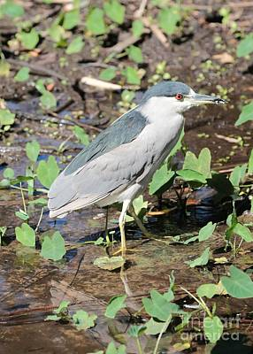 Black-crowned Night-heron Poster by Carol Groenen