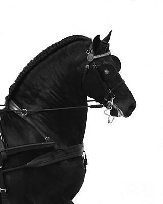 Black Friesian In Harness Poster by Carol Walker