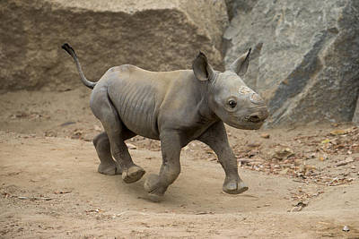Black Rhinoceros Calf Running Poster by San Diego Zoo