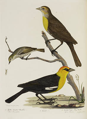 Blackbird And Warbler Poster by British Library