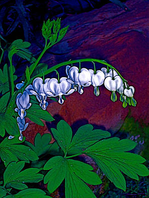 Bleeding Heart 1 Poster by Pamela Cooper