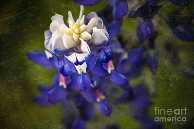 Bloomin' Bluebonnet Poster by Amanda Collins