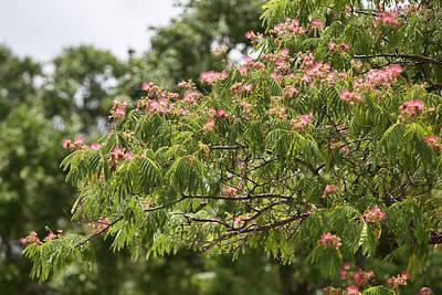Blooming Mimosatree Poster by Linda Phelps