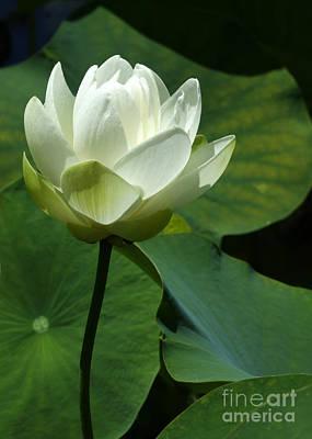 Blooming White Lotus Poster by Sabrina L Ryan