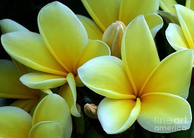Blooming Yellow Plumeria Poster by Sabrina L Ryan