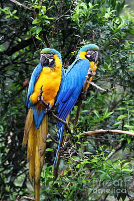 Blue And Yellow Macaws Poster by James Brunker