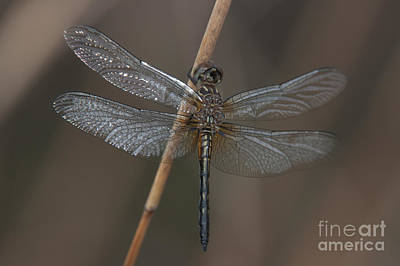 Blue Dasher Dragonfly Poster by Clarence Holmes