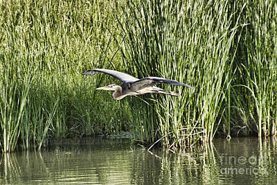Blue Heron In Flight V8 Poster by Douglas Barnard