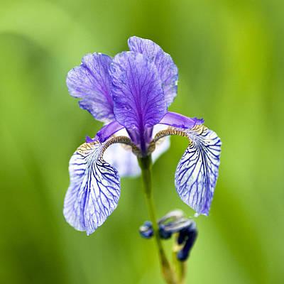 Blue Iris Poster by Frank Tschakert