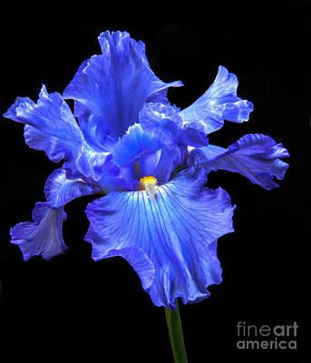 Blue Iris Poster by Robert Bales