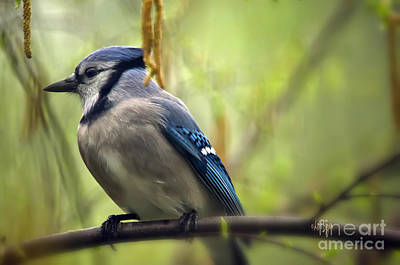 Blue Jay On A Misty Spring Day Poster by Lois Bryan