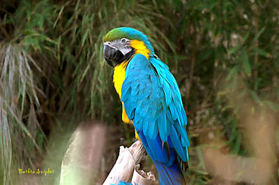 Blue Macaw Poster by Barbara Snyder