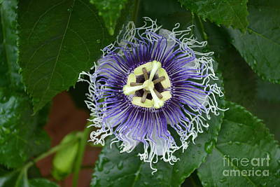 Blue Passion Flower Poster by Don Columbus