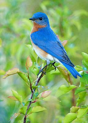 Bluebird Joy Poster by William Jobes